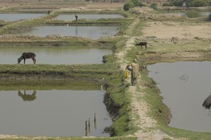 Colour photograph showing that the rising sea level brings salt water inland, damaging the soil's fertility. Some residents have adapted by using their farmland for fish breeding. Others are experimenting with crop species that are resilient to salt water.